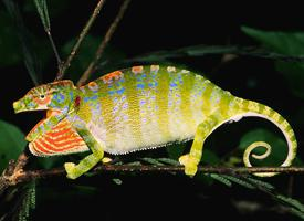Furcifer labordi