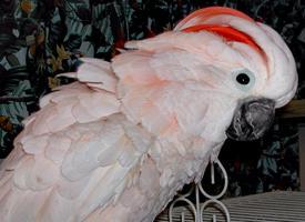 Kakadu molucký prodej